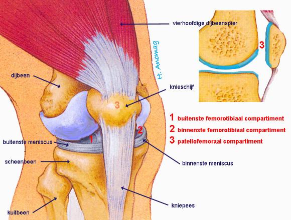 spieren binnenkant knie